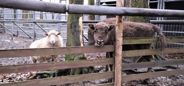 Młody żubr Plestor i towarzysząca mu owieczka Kropka / fot. UM Pszczyna