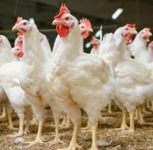 Jak chronić kury przed jastrzębiem