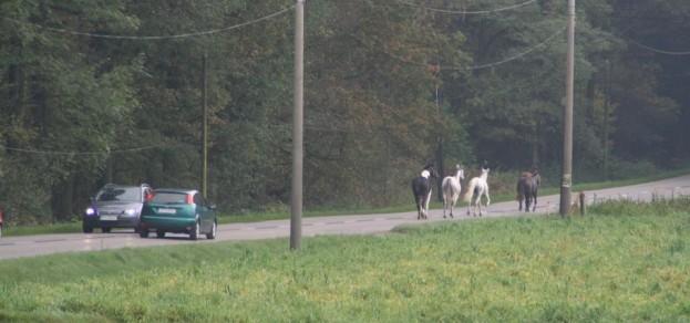 Konie pędzące ul. Wodzisławską