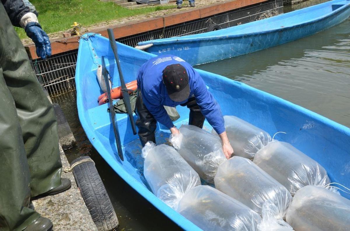 Nowe drapieżniki oczyszczą wody Jeziora Goczałkowickiego
