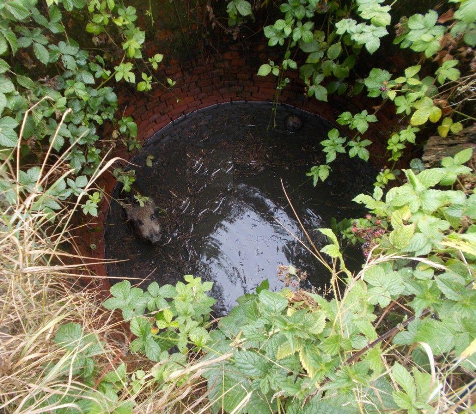 Strażacy wyciągneli dzika ze studni