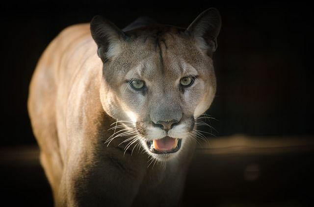 Patrole Służby Leśnej szukają pumy