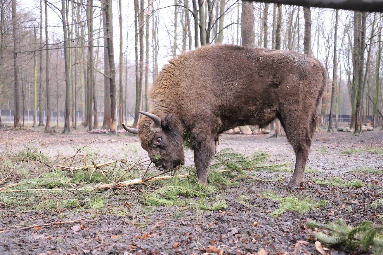 Trzy żubry uciekły z zagrody w Jankowicach